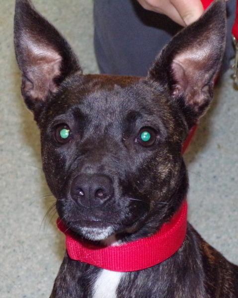Ashton, <1Year old, Terrier mix, Female
