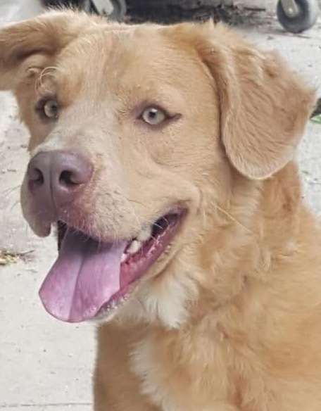 Cinnamon, 10 Month old, Lab/Setter mix, Male