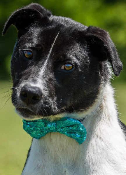 Collins, 3 Year old, Border Collie mix, Male
