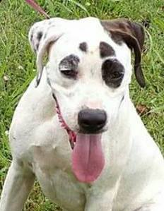 Crystal,  1 Year old, Pointer mix, Female
