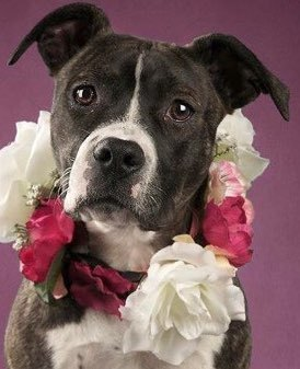 Bailey, 1 Year old, Pit mix, Female