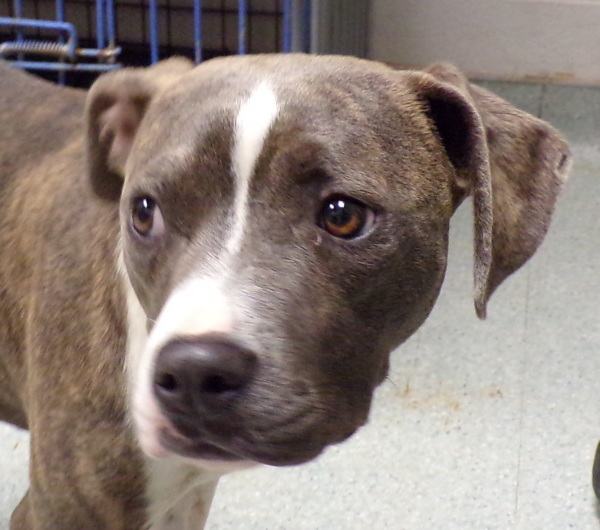 Dianne, 6 Month old, Beagle/Pit mix, Female