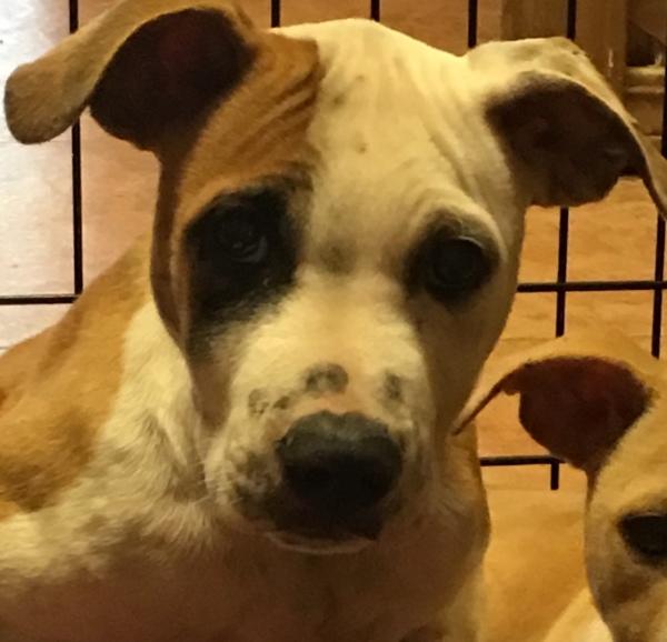 Jasper, 12 week old, Terrier mix, Male