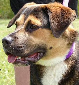 Lilly, 2 Year old, Shepherd mix, Female