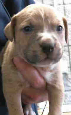 Mack, 6 Week old, Pit/boxer mix, Male