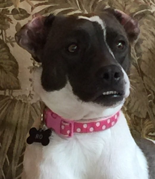 Ro, 2 year old, Rat Terrier mix, Female