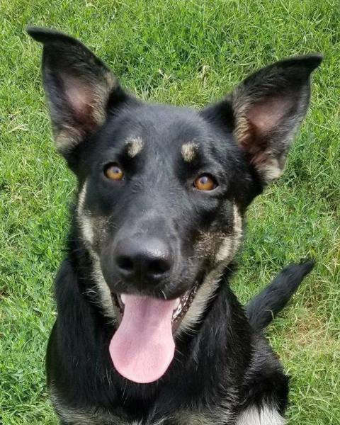 Roni, 9 Month old, German Shepherd mix, Female