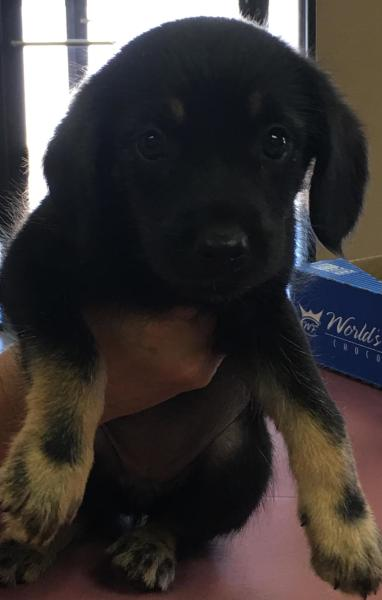Daisy, 8 Week old, Lab mix, Female