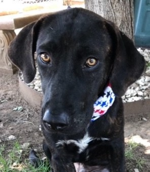 Barkley, 9 Month old Male, Lab Hound mix