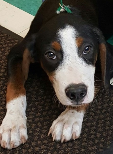 Bear, 5 Month old Male, Hound mix