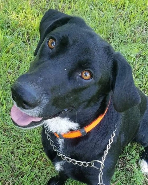 Bingo, 2 Year Old Male, Lab mix