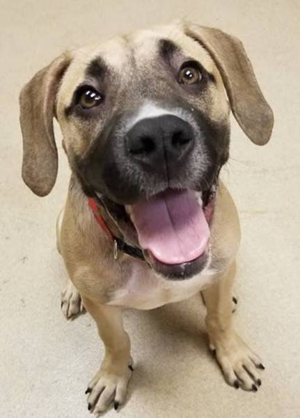 Centennial, 5 Month Old Male, Mastiff mix
