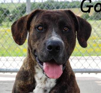 Goron, 2 Year Old Male, Great Dane Lab mix