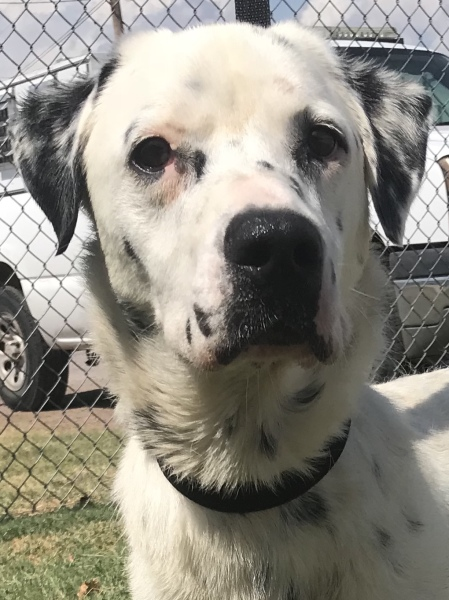 Taz, 3 Years Old Male,  Dalmation Lab mix