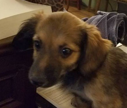 Shelby 10 Week Old Female, Dachshund mix