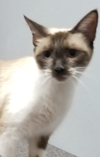 Ala, 16 Month old Female, Siamese