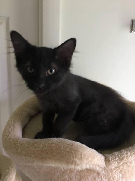 Ala's kitten1, 12 Weeks