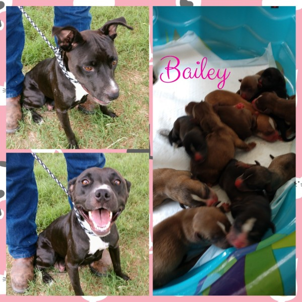Bailey, 1 Year old Female, Lab/Pit mix