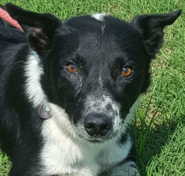 Barlow, 5 Year old Male, Border Collie mix