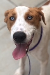 Benny, 1 Year old Male, Hound mix