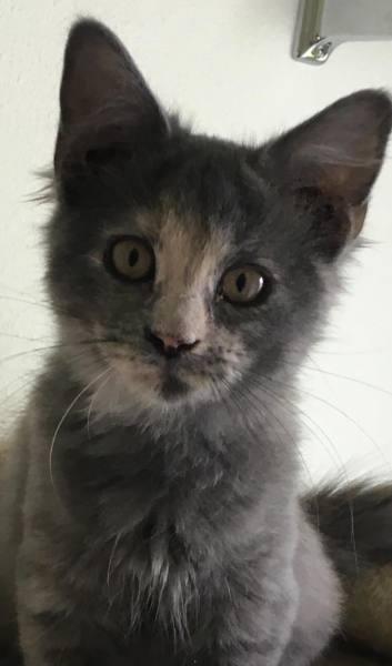 Betty Wilson's kitten1, 12 Weeks