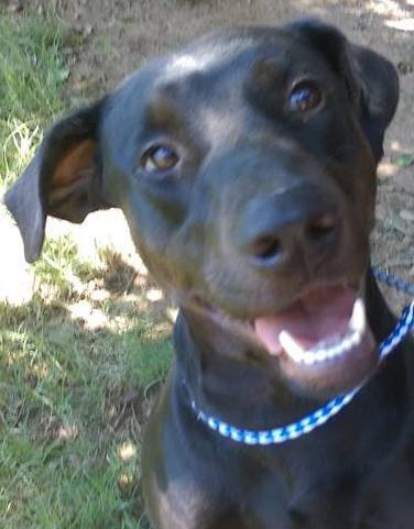 Chester, 2 Year old Male, Doberman/lab mix