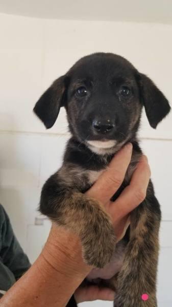 Puppy 4, 7 1/2 Weeks, German Shepherd mix