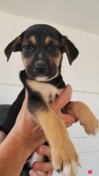 Puppy 6, 7 1/2 Weeks, German Shepherd mix