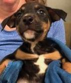 Bubba, 6 Week old Male, Pit mix