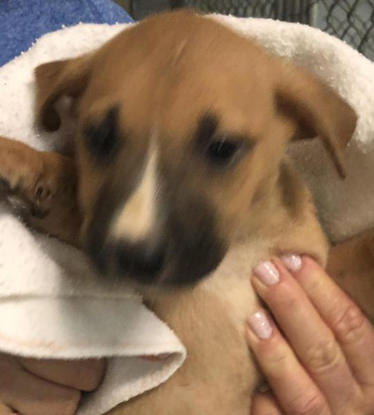 Cindy, 6 Week old Female, Pit mix