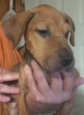 Delilah, 3 1/2 Month old Female, Hound mix