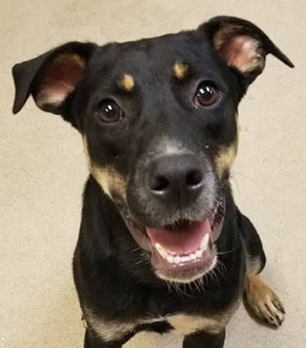 Doc Holiday, 7 Month old Male, Rottweiler mix