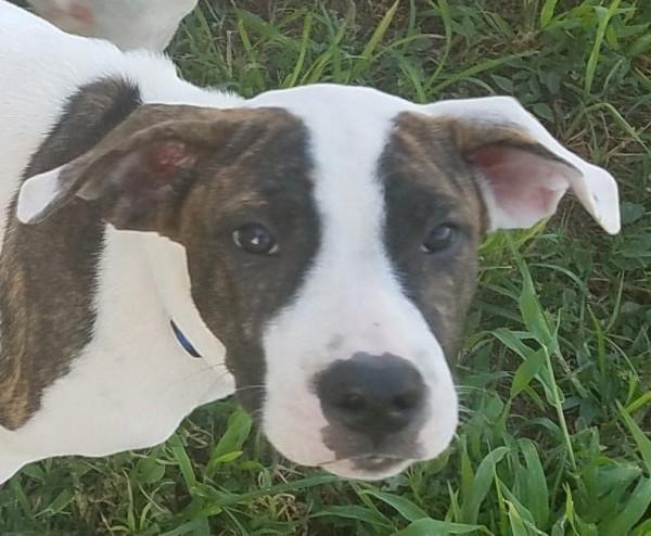 Hollie, 5 Month old Female, Hound mix