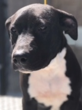 Jill, 5 Month old Female, Lab mix
