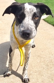 Lucy, 11 Month old Female, Heeler mix