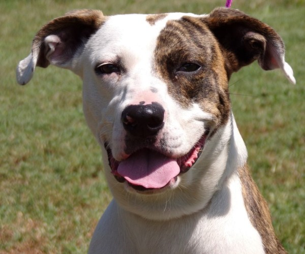 Minnie, 1 Year old Female, Pit mix