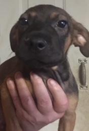 Oscar, 3 1/2 Month old Male, Lab/Hound mix