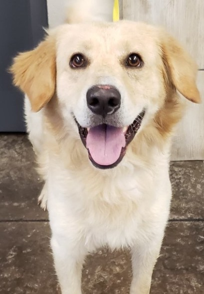 Pupcake, 2 Year old Male, Gold Retriever mix