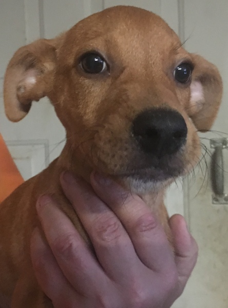 Randy, 3 1/2 Month old Male, Lab/Hound mix