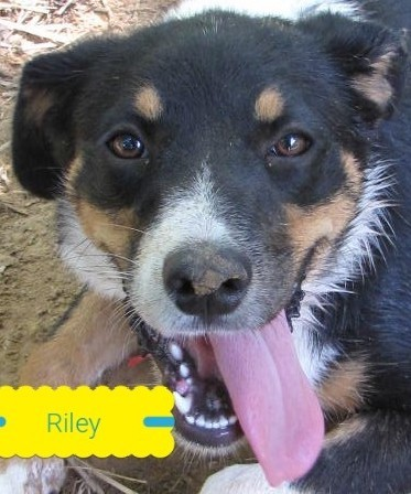Riley, 1 Year old Female, Border Collie mix