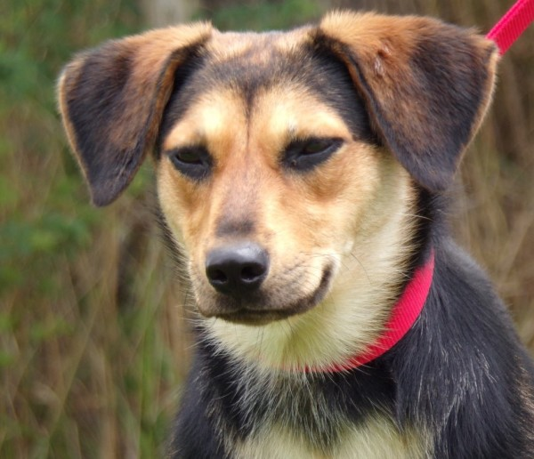Tansy, 1 Year old Female, Shepherd mix