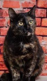 Tipper, 1 Year old Female, DSH