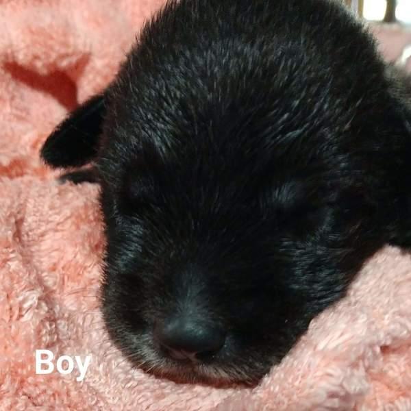 Dallas pup1, 3 Week old, Beagle mix