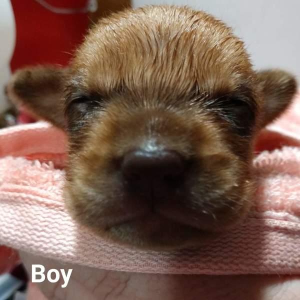 Dallas pup2, 3 Week old, Beagle mix