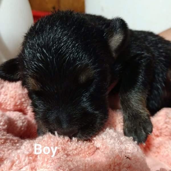 Dallas pup4, 3 Week old, Beagle mix