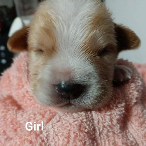 Dallas pup6, 3 Week old, Beagle mix