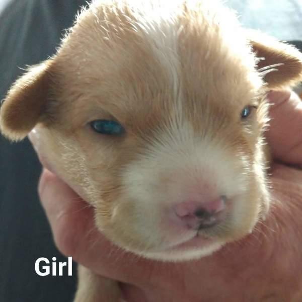 Dallas pup8, 3 Week old, Beagle mix