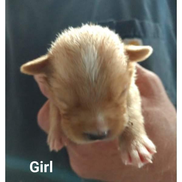 Dallas pup9, 3 Week old, Beagle mix