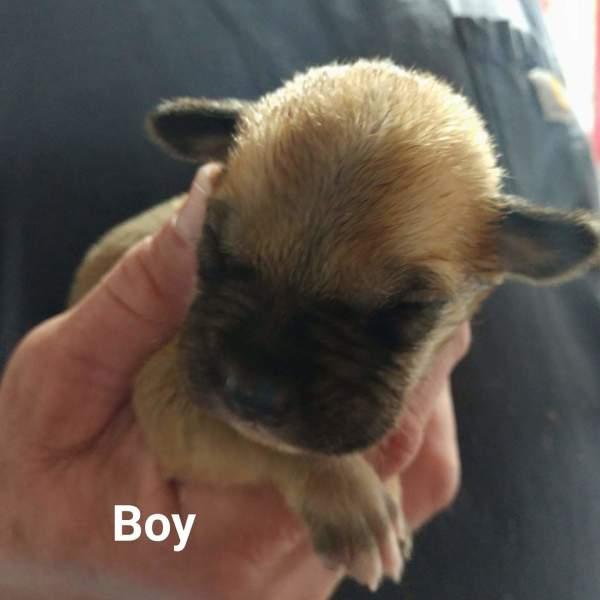 Dallas pup10, 3 Week old, Beagle mix