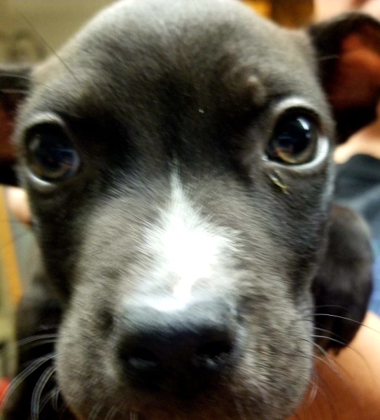 Bentley, 10 Week old Male, Pit/Chi mix